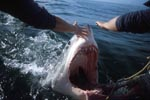 Great White Shark at the outboard motor