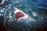 Great White Shark at the surface with its mouth open