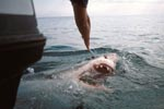 Great White Shark emerging directly behind the boat