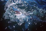 A synonym for elegance, strength, quickness and hunting: the Great White Shark (Carcharodon carcharias)