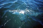 Great White Shark patrolling on the water surface
