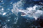 Great White Shark explores the world above the water