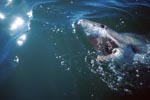 The Great White Shark has a key position in the maritime ecosystem