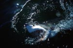 Great White Shark emerges from the dark water