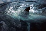 The Great White Shark shows its pectoral fin