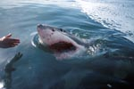 Great White Shark heading for the outboard engine