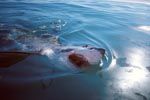 Great White Shark breaks through the sea surface