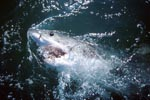 In all the seas at home: The Great White Shark