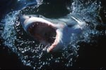 Great White Shark breaks dynamically through the water surface