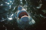 Great White Shark explores the world above the water</b>
