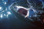 Known and infamous: The jaws of the great white shark