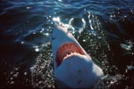 Great White Shark explores the world over water