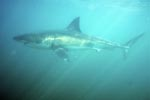 Great White Shark at low visibility in the Shark Alley