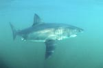 Great White Shark in the turbid water of the Shark Alley