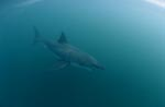 Great White Shark in the green water between Dyer Island and Geyser Rock