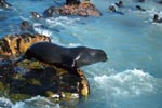 Fur seal on the jump in the water