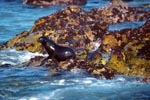 Fur Seal on colorful overgrown rock