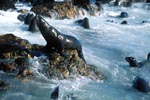 Fur seals in heavy swell