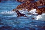 Fur seal on the way into the sea