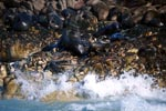 Fur Seals on Geyser Rock