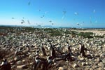 African Penguin and Seabird colony