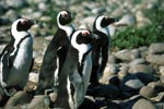 African Penguins on Dyer Island
