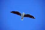 Hartlaub´s gull gliding across the sea
