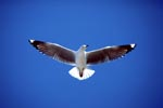 Hartlaub´s gull in the Sky of Dyer Island