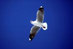 Hartlaub´s gull in the blue sky
