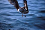 Flying young Kelp gull