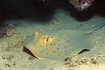 Bluespotted ribbontail stingraywith oval light blue spots