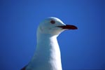 Beautiful Hartlaub´s gull