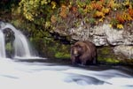 Brown bear in the autumn at the waterfall