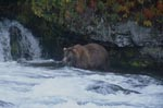Brown Bear looking for salmon