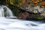 Brown Bear in autumnal scenery
