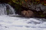 Brown bear in the fall at the waterfall
