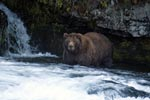 Attentive brown bear at the waterfall