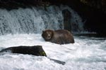 Brown bear in strong current