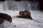 Brown bear surrounded by water