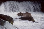 Brown bear shakes water off