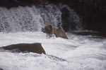 Brown bear right under the waterfall