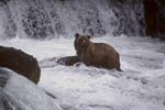 Brown bear surrounded by flowing water