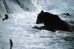 Brown Bear with salmon prey