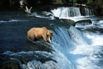 Brown bear with salmon at the waterfall