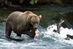 Brown Bear in Action