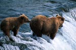 Mother Brown Bear with cub at Brooks River Falls