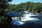 Brown Bears and salmon at the waterfall