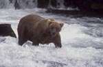 Brown Bear looking for salmon at the waterfall