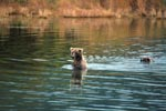 Sow with her cub is back in shallow water