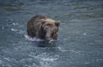 Brown Bear fishing for salmon at River